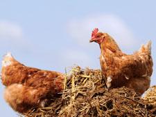 Переработка отходов птицефабрик и птицеферм